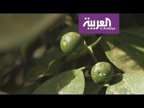 مصر اليوم - بالفيديو قصة برتقال حائلط وعمره الطويل