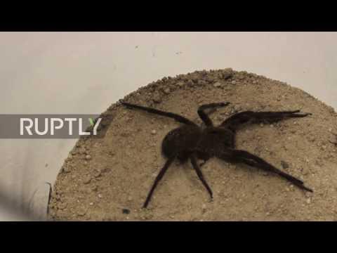 مصر اليوم - بالفيديو لدغة عنكبوت سام تعالج الضعف الجنسي لدى الرجال