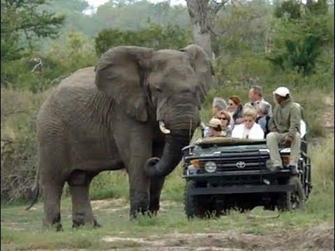 مصر اليوم - شاهد فيل ضخم يثير فزع سياح داخل حديقة سفاري