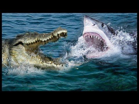 مصر اليوم - شاهد معركة داخل النهر سمكة القرش مقابل التمساح