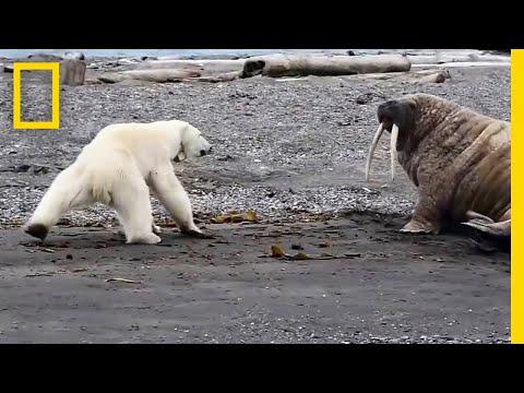 شاهد  مواجهة بين دب قطبي جائع وحيوان الفظ