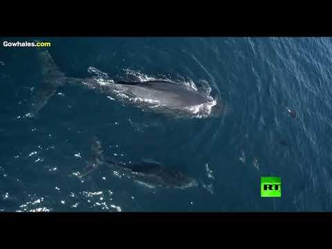 شاهد لقطات نادرة لـ1500 دلفين تلاعب الحوت
