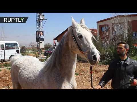 الخيول العربية الأصيلة تعود إلى المزارع السورية
