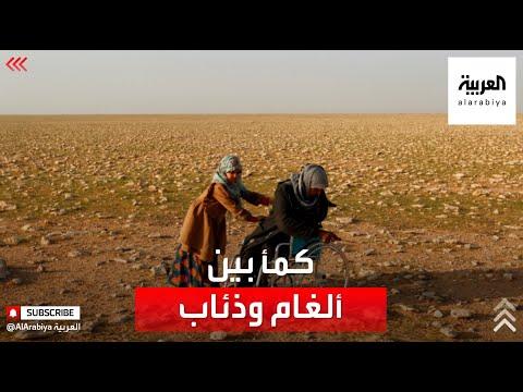 شاهد  جامعو الكمأ في صحاري العراق بين سندان الألغام ومطرقة الذئاب
