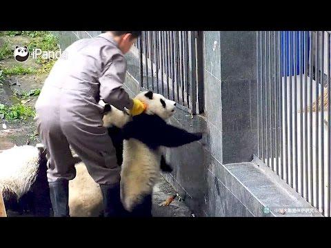 panda cubs attempt quick getaway