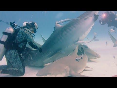 man feeds massive pregnant tiger shark