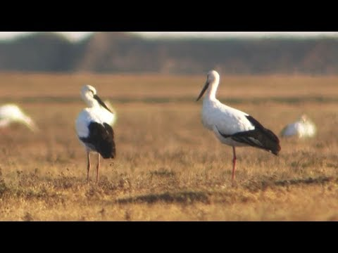 over 600 oriental white storks spotted