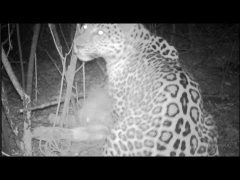wild puma eats a bull in mountains recorded