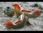 شاهد الأسماك تمشي على الأرض