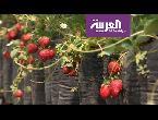 شاهد رحلة ترفيهية مع الفراولة في أندونيسيا