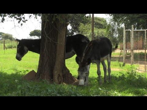 مصر اليوم - بالفيديو جلود الحمير الأفريقية محور تجارة عالمية دامية