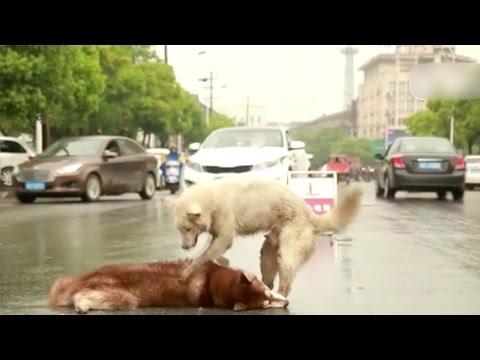 مصر اليوم - شاهد كلب يرفض ترك جثة صديقه في الصين