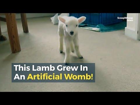 مصر اليوم - بالفيديو ولادة خروف من رحم كيس بلاستيكي يعطى أملًا