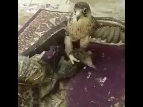 مصر اليوم - بالفيديو صقر يلتهم قطة حية في مشهد صادم