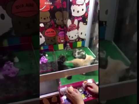 مصر اليوم - بالفيديو لعبة جديدة تتيح الحصول على قطط حقيقية بدلًا من الدمى