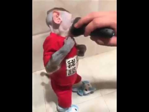 مصر اليوم - بالفيديو أطرف لقطة لقرد يحلق ذقنه