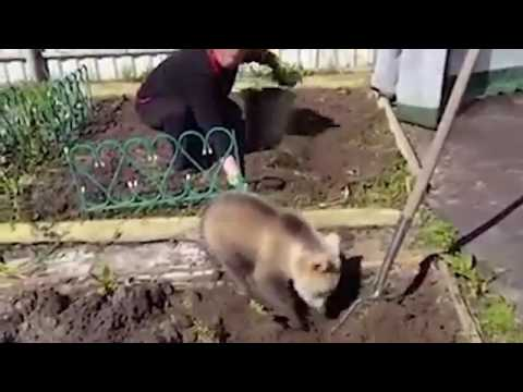 مصر اليوم - بالفيديو دب صغير يساعد امرأة في زراعة البطاطس