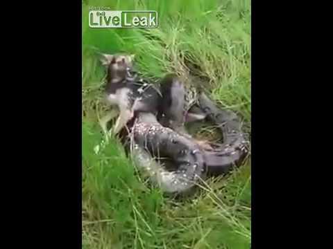 مصر اليوم - بالفيديو رجل جريء ينقذ كلبًا من فكي أفعى ضخمة