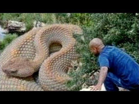 مصر اليوم - شاهد الثعابين الخمس الأكبر حجمًا في العالم