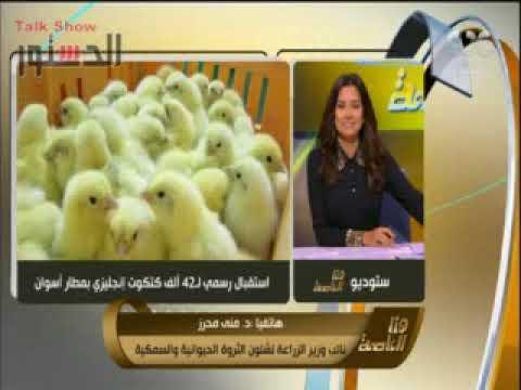مصر اليوم - منى محرز تؤكّد أن مصر استقبلت دفعة كتاكيت بـ 25 مليون جنيه