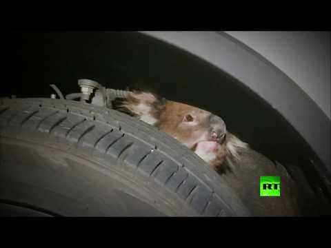 مصر اليوم - شاهد إنقاذ حيوان كوالا علق في إطار سيارة