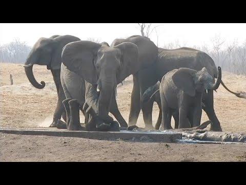 مصر اليوم - شاهد أنثى فيل تنقذ صغيرها بعدما حشر نفسه داخل قناة ري