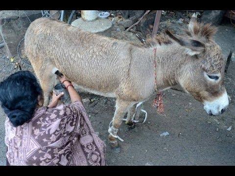 مصر اليوم - زيادة الطلب على لبن الحمير للشفاء في الهند