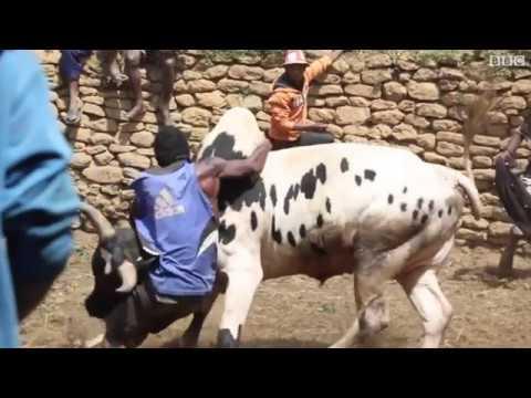 مصر اليوم - شاهد مصارعة الثور أغرب عادات الزواج في مدغشقر