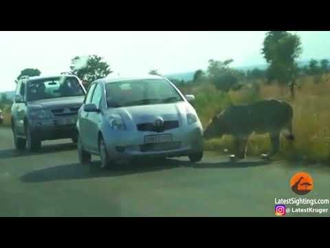 مصر اليوم - شاهد أسد يحاصر سيارة عائلة ويثقب إطاره