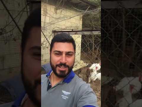 مصر اليوم - شاهد شاب يزعم قدرته على مجادلة الديوك الرومي