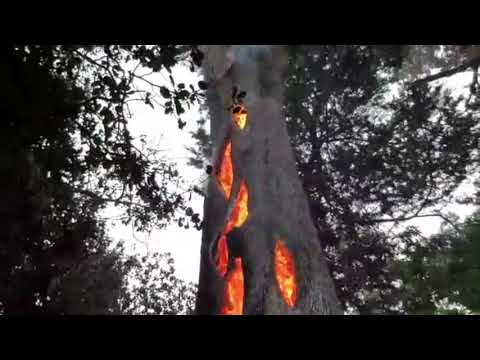 مصر اليوم - شاهد مشهد مُخيف لشجرة تحترق من الداخل