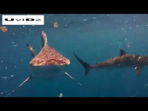 مصر اليوم - شاهد غواص يسبح وسط أسماك القرش في فلوريدا