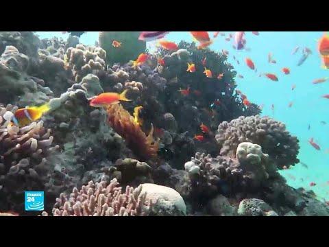 شاهد البحر الأحمر واحة للشعاب المرجانية تمثل أملا وسط التغير المناخي