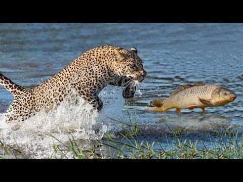 بالفيديو مقطع مذهل نمر يصطاد سمكة القطة