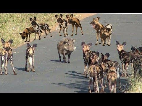 شاهد الكلاب البرية المتوحشة في مواجهة الحيوانات البرية