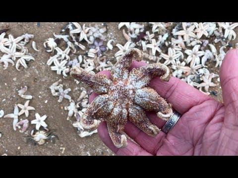 الآلاف من نجم البحر الميت تغرق الشواطئ البريطانية