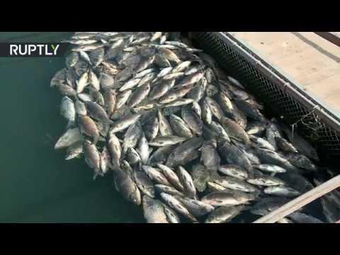 شاهد نفوق أعداد كبيرة من الأسماك بشكل مفاجئ  في العراق