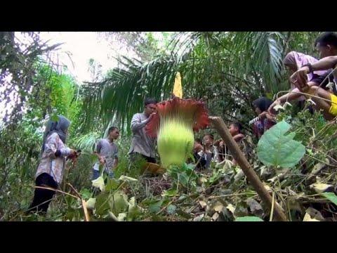 شاهد تفتح زهرة تيتانيوم عملاقة في إحدى مزارع إندونيسيا