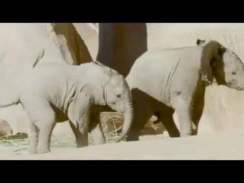 شاهد صغيران مِن الفيلة يلعبان بحديقة حيوان في كاليفورنيا