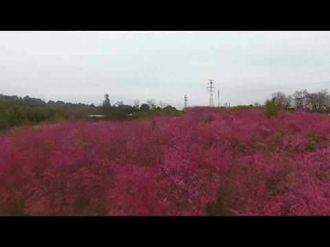 شاهد بحر من ألوان أزهار الكرز في مدينة قانشو الصينية