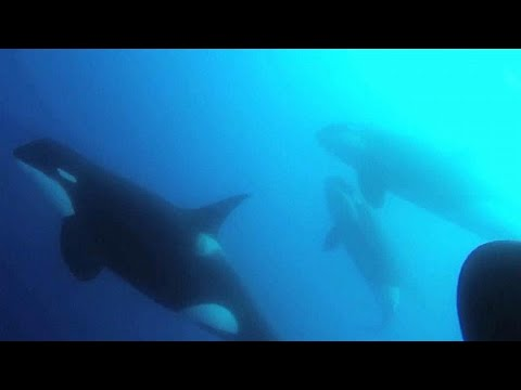 شاهد اكتشاف نوع جديد من الحيتان القاتلة يختلف عن الأوركا