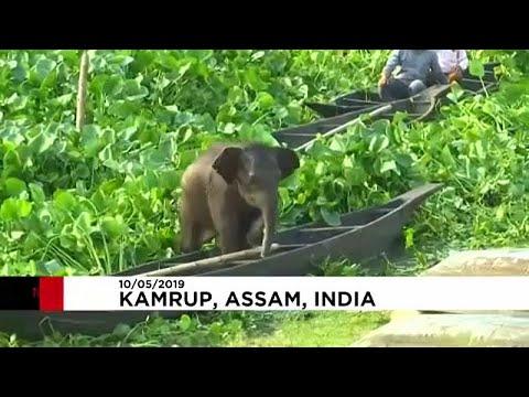 شاهد إنقاذ صغير فيل من الغرق داخل بحيرة في الهند
