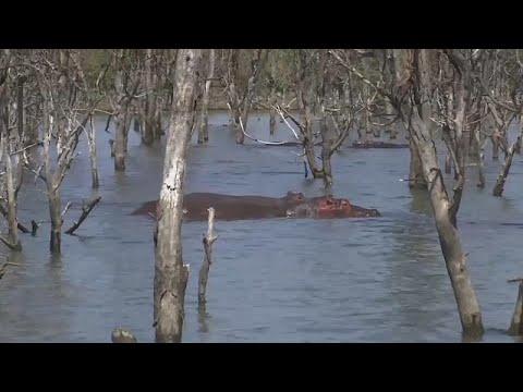 كينيا تُعلن خطر تناقص أعداد حيوان فرس النهر