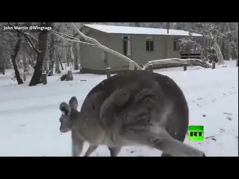 شاهد رد فعل غير متوقع لكنغر بعد سقوط نادر للثلج في أستراليا