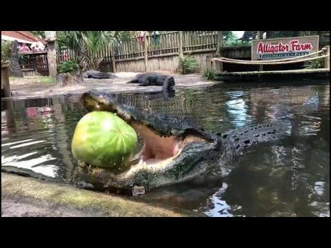 شاهد القوة الساحقة لفكي تمساح وهو يقضم بطيخة