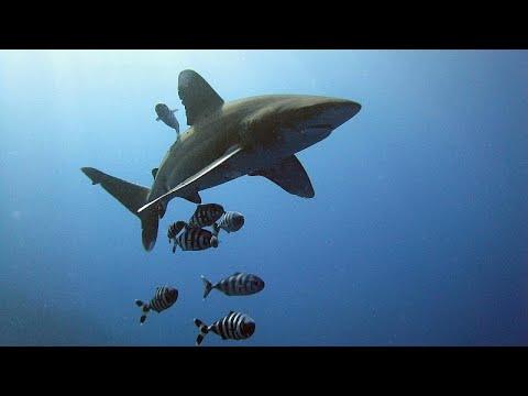 شاهد اتفاق دولي للحفاظ على أسماك القرش والشفنين