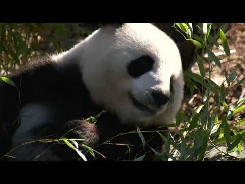 شاهد أنثى الباندا العملاقة المعارة من الصين منغ منغ حامل