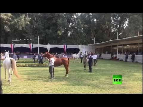 شاهد افتتاح بطولة مصر القومية والدولية لجمال الخيول العربية الأصيلة في القاهرة
