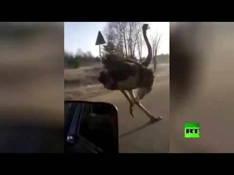 شاهد نعامة تركض على الطريق بسرعة عالية في روسيا