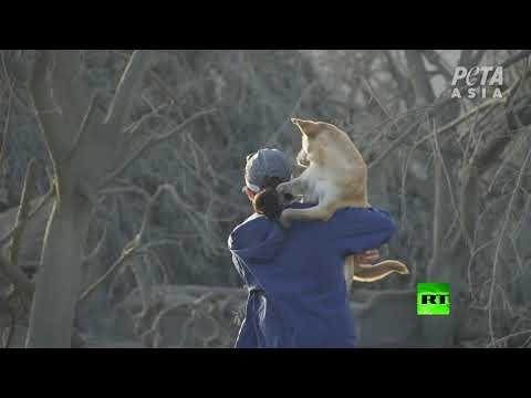 شاهد إنقاذ حيوانات عالقة بالقرب من بركان تال